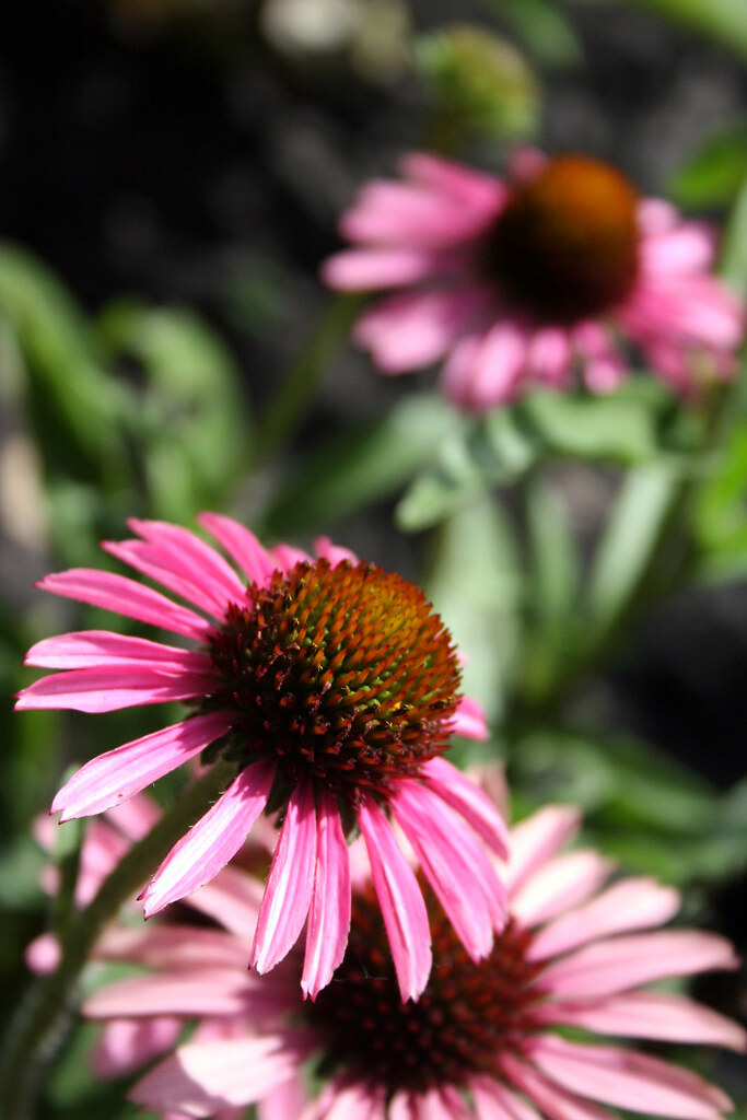 Pixie Meadowbrite Coneflower