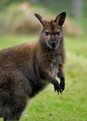Wallaby (Ian Mc1) Tags: aficionados tamron70300 willowbank pentaxk10d aficinonados