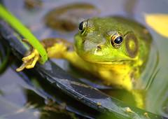 Rama Farm Bullfrog