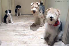 Happy Family (Richard E. Ducker) Tags: puppy wire puppies terrier cachorro fox wired duro filhotes ruffus pelodearamepelo
