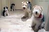 Happy Family (Richard E. Ducker) Tags: puppy wire puppies terrier cachorro fox wired duro filhotes ruffus pelodearamepelo