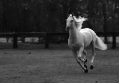 rancho domecq 08 (tagle) Tags: whitehorse galope caballoblanco