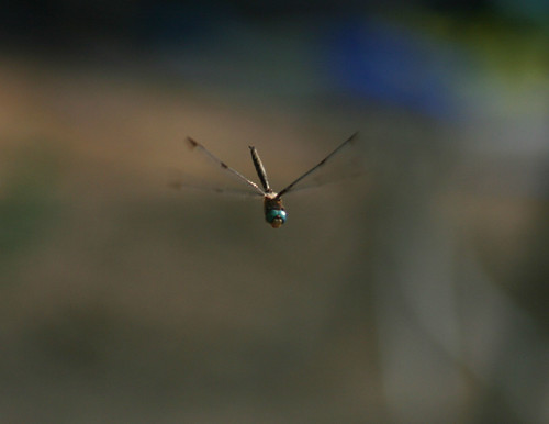 unknown dragonfly in flight