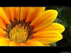 Con los pelos de punta (DrGEN) Tags: santa orange santafe flower macro argentina hair flor rosario punta fe naranja ceres pelos petalos anaranjada pistilo wpblog aplusphoto drgen peachofashot