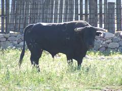 Diumenge 24, Dia de la Penya Taurina. Nº103, guarisme 4, color negre bragat, de nom Pajarito, de la ramaderia de Hato Blanco, adquirit a la finca Sanchis-Piquer de la Vall d'Uixó.