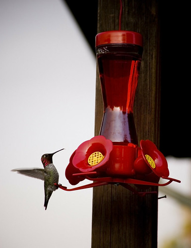Hummingbird has breakfast