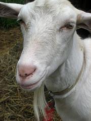 Sannen dairy goat