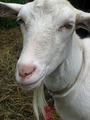 Dairy goat doe