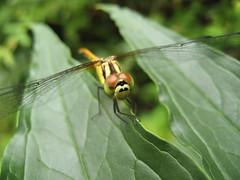 dragonfly Urabandai