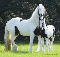 (The Pelton Vanners Gypsy Vanner Horses) Tags: gypsyvanner gypsyhorse gypsycob