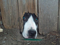 Seeing through the eyes of a dog. (C Luckey) Tags: dog animals fence hope eyes backyard sad head lonely seeingthrough