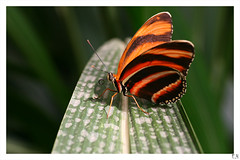 Butterfliege7 (zoom in, find out) (Eddy.H) Tags: orange macro green nature eh colors beautiful animal animals closeup fauna canon insect leaf shot awesome tripod butterflies sigma awsome lepidoptera butterly stunning grn makro insekt echte nahaufnahme tier schmetterling butterflys potofgold 70mm insecta hobbyphotograph 400d tagfalter aplusphoto fluginsekten macrolife schmetterlingshaussayn