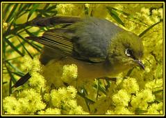 Silvereye #2 (TheGreatContini) Tags: sydney silvereye wattle bicentennialpark smallbird beautifulbird australiabird specanimal mywinners abigfave vosplusbellesphotos