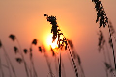 Sea Oat Sunrise (David Hopkins Photography) Tags: pink sky sun sc sunrise geotagged myrtlebeach bokeh seaoat brillianteyejewel grouptripod geo:lat=33659192 geo:lon=78916189