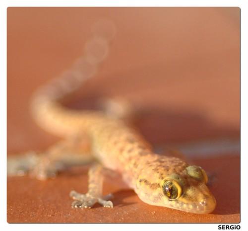 Hemidactylus frenatus (juvenil)