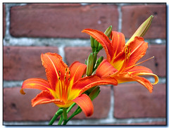 Lilies (Lisa-S) Tags: flowers orange ontario canada brick green wall canon garden lisas explore lilies mississauga allrightsreserved 1606 interestingness462 i500 s3is canons3is pdsb copyrightlisastokes