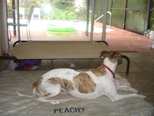 Dog Sitting, Greyhound Resort Dunedin FL