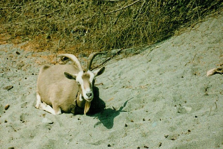 Nina the goat