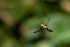 Crane Fly (dr ama) Tags: deleteme5 deleteme8 deleteme deleteme2 deleteme3 deleteme4 deleteme6 deleteme9 deleteme7 deleteme10
