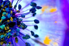 ...Magenta's dream... (Geoff...) Tags: blue abstract flower spring nikon blossom bokeh naturallight australia poppy canberra tamron90mmmacro d80 twtmeiconoftheday lushpupimages abluepoppy lushpup