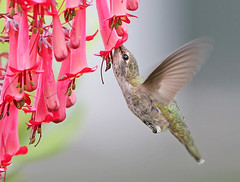 Anna's Hummingbird (janruss) Tags: fab bird hummingbird searchthebest explore sensational hummer avian birdwatcher annashummingbird naturesfinest wonderworld blueribbonwinner featheryfriday specanimal golddragon wingedwonders mywinners totalawesomeness worldbest specanimalphotooftheday platinumphoto anawesomeshot colorphotoaward impressedbeauty infinestyle avianexcellence specanimalphotoofthemonth citrit empyreananimals onlythebestare overtheexcellence natureoutpost macromarvels goldstaraward internationalgeographic photoexplore world100f photoexel obq 100commentgroup flickrflorescloseupmacros colorphotoawardbronze colorphotoawardsilver colorphotoawardgold panoramafotogrfico alittlebeauty janruss bestofmywinners janinerussell newgoldenseal artistoftheyearlevel3 artistoftheyearlevel4 artistoftheyearlevel5 artistoftheyearlevel7 artistoftheyearlevel6