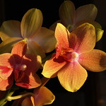 Warm and Shining Orchids thumbnail