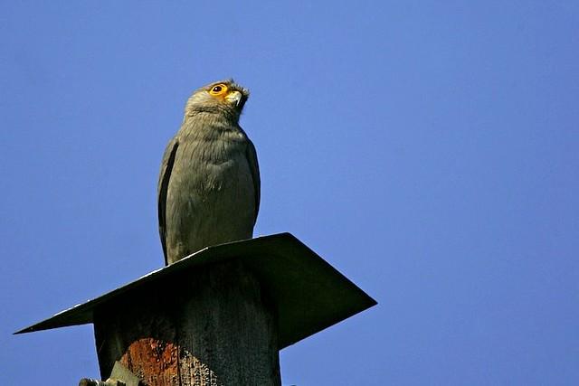 Grey Kestrel - Mabamba Uganda 06_3746-108