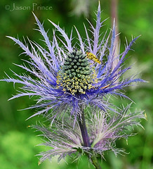 Eryngium bourgatii 'Oxford Blue' (Jason Prince Photography) Tags: love nature by awesome blossoms group inspired nights 100 gem comment 1001 naturesfinest digitalcameraclub flowerotica colorphotoaward overtheexcellence macromarvels excapturemacro natureselegantshots wonderfulworldofflowers theenchantedcarousel damniwishidtakenthat 100commentgroup