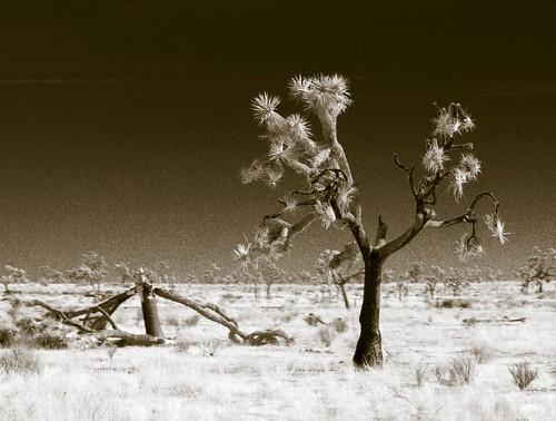 Dead Joshua Trees