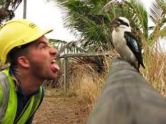 Lickaburrah (robstephaustralia) Tags: bird birds australia kingfisher queensland tropical seaford kookaburra kingfishers kookaburrahs