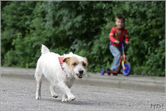 Jack Russel Terrier Geldrop
