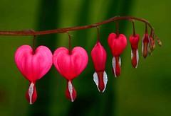 hanging hearts (andyhensel) Tags: flowers red color colour art nature hearts colours heart valentine anawesomeshot colorphotoaward impressedbeauty flowersandcolors macrophotosnolimits goldstaraward wonderfulworldofflowers thechallengefactory anuniverseofflowers greatshotss