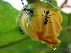 Lets have a flower for lunch (~sharmila~) Tags: closeup yellowflower blackants vegetableflower