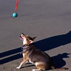 anticipation (musicmuse_ca) Tags: 15fav dog beach luci anticipation carlysimon