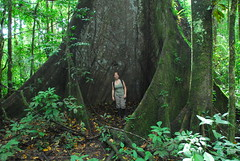Huge Tree, Cuyabena