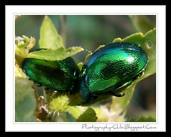 Green Jewel Beetles (voyageAnatolia.blogspot.com) Tags: trip travel flower reflection green nature leaves lady reflections turkey bug insect reflecting spring shiny bright metallic beetle ladybird ladybug beetles emerald jewel scarab yeil bcek doa mcevher uur dzce bcei afsad chrysina fotogezi voyageanatolia