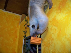 Pua's rope trick with basket