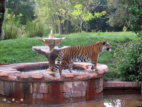 IMG_7079-DAK-one-tiger-fountain