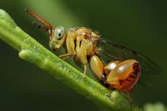chalcid wasp (Mundo Poco) Tags: macro canon insect wasp mpe65mm chalcid chalcididae rebelxsi bestmacrosoftheworld eos45od