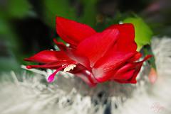 Christmas cactus (❁bluejay 2006❁) Tags: white plant flower green nature fleur scarlet rouge sunday garland christmascactus tistheseason pinkishred bej nikond40 goldstaraward bluejay2006 novavitanewlife tistheseasonappreciation