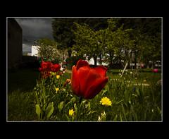 No jardim do ptio da igreja de Treveln (.Tatiana.) Tags: friends patagonia argentina iglesia tulipas patagnia chubut tulipanes johanes mywinners monicadiblasio treveln parroquialainmaculada