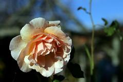 rose (teddave) Tags: rose brixton secretgarden brockwellpark