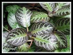 Episcia cupreata 'Acajou' (Flame Violet, Carpet Plant)