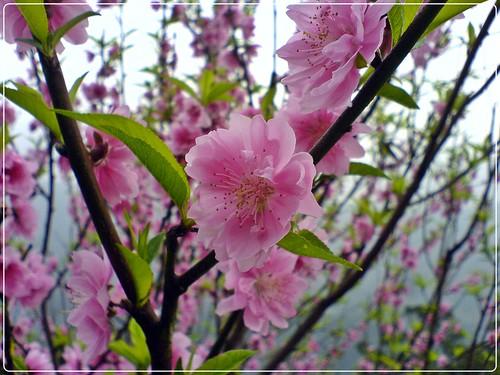 陽明山 櫻花開