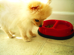 Natural (_ch3) Tags: dog cute home puppy fun toy pom friend bright little eating small adorable fluffy happiness bowl meal curious kiwi pomeranian ch3