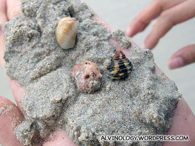 Found some round shell hermit crabs