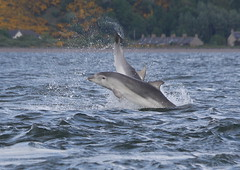 Moray firth Bottlenose Dolphins 12/05/11 (Ally.Kemp) Tags: wild point scotland marine dolphin wildlife dolphins mammals juvenile leaping breaching moray rosemarkie blackisle firth chanonry fortrose rossshire scotttish