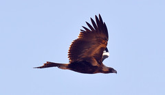 Wedge-tailed Eagle (Aquila audax) (Owen65) Tags: bird aves sa southaustralia avian wedgie maree wedgetailedeagle oodnadattatrack aquilaaudax nikond5000 photocontesttnc11 owen65 owentheworld