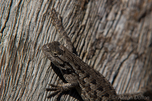 Lizard On Bark