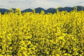 Where your Canola oil comes from